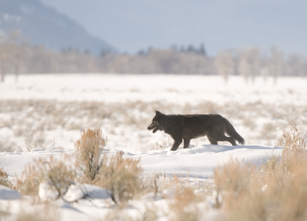 Big, Bad Wolf - Spring Creek Ranch, Jackson Hole, WY